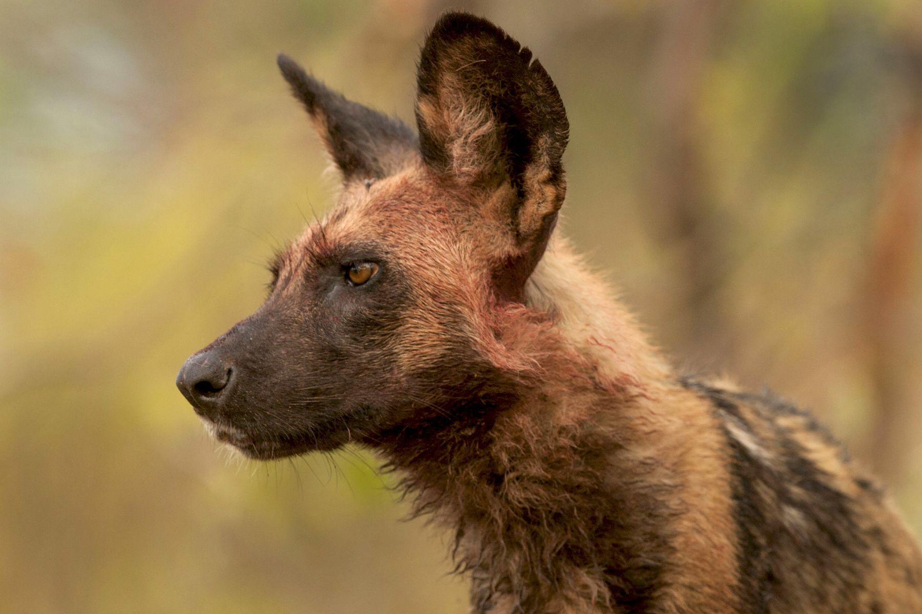 Wild Dog portrait by photographer Grant Reid