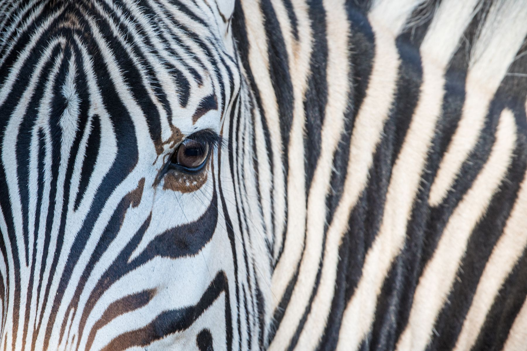 Burchell's Zebra detail, a classic Botswana photosafari subject