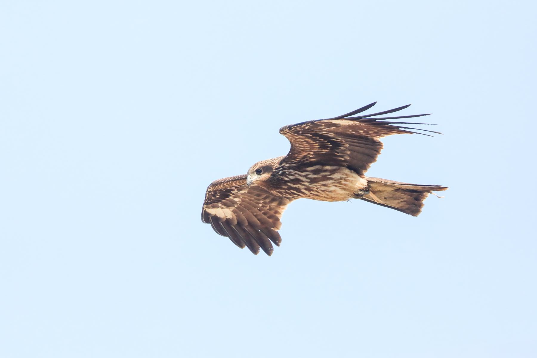 A Black Kite inspects the crane reserve at Arasaki