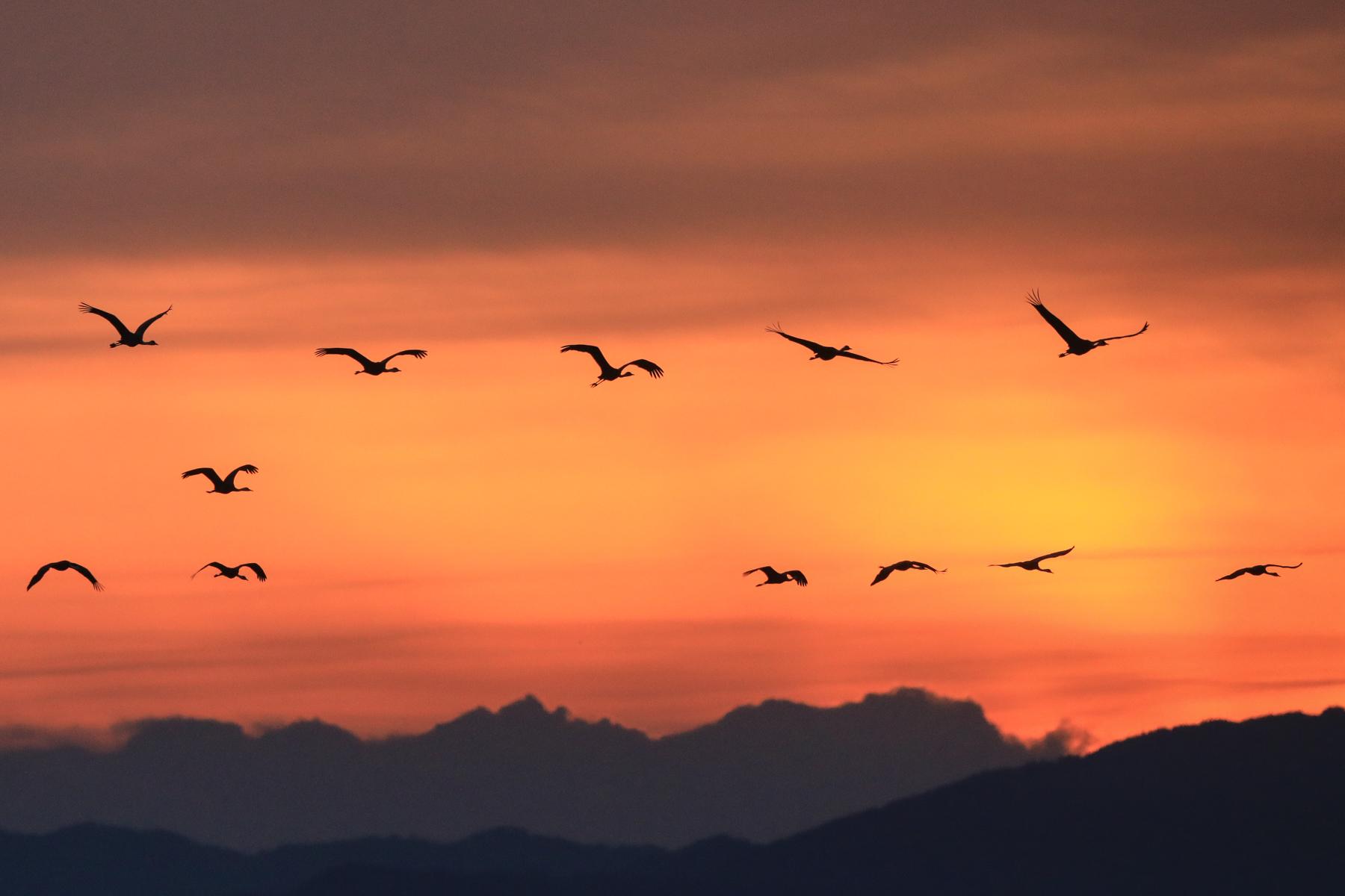 Cranes at sunrise at Arasaki