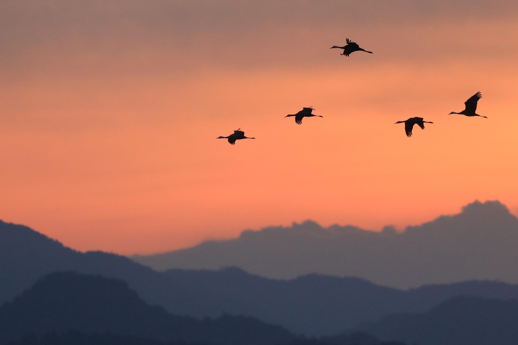 Cranes at sunrise at Arasaki on Kyushu Island