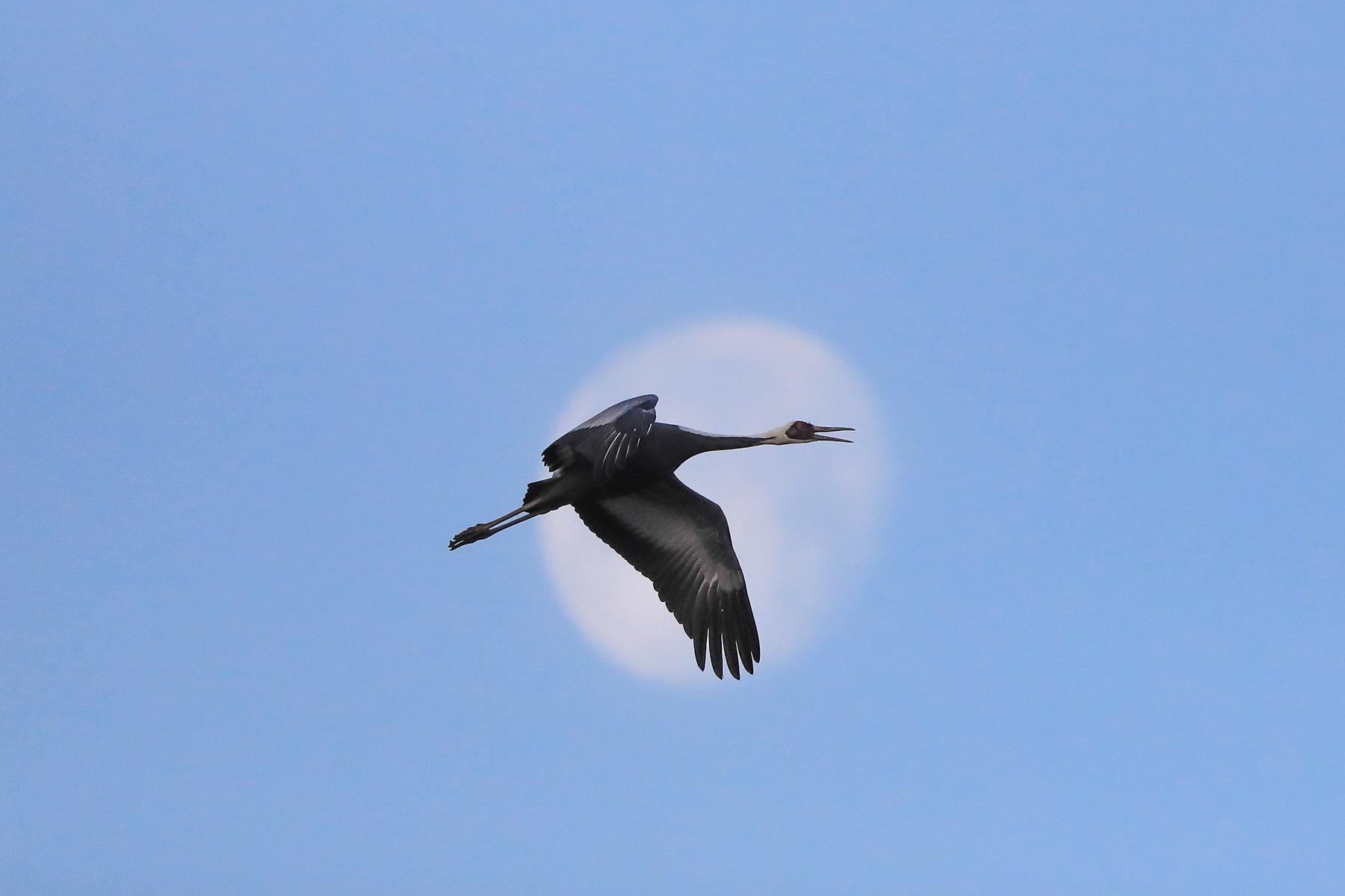 A White-naped Crane bugles as it crosses the dawn moon at Arasaki