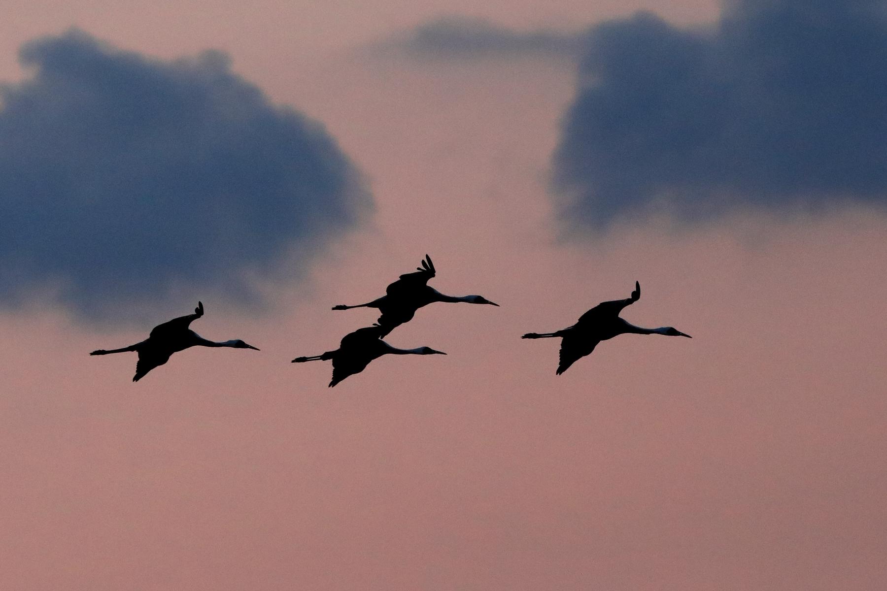 White-naped Cranes at sunset at Arasaki
