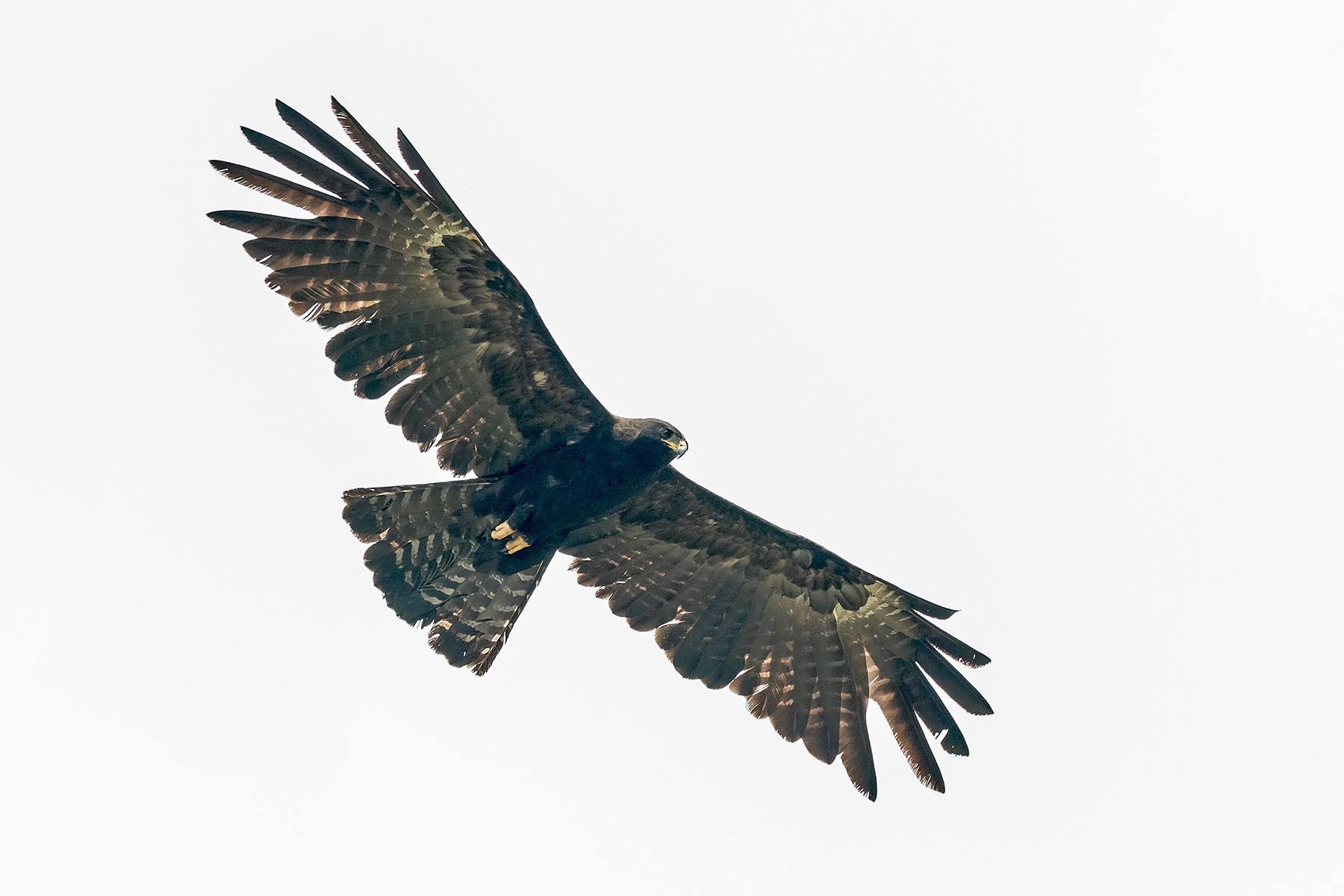 Asian Black Eagle