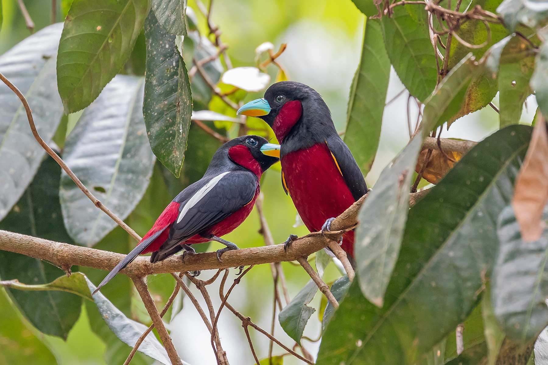 Black-and-red Broadbills