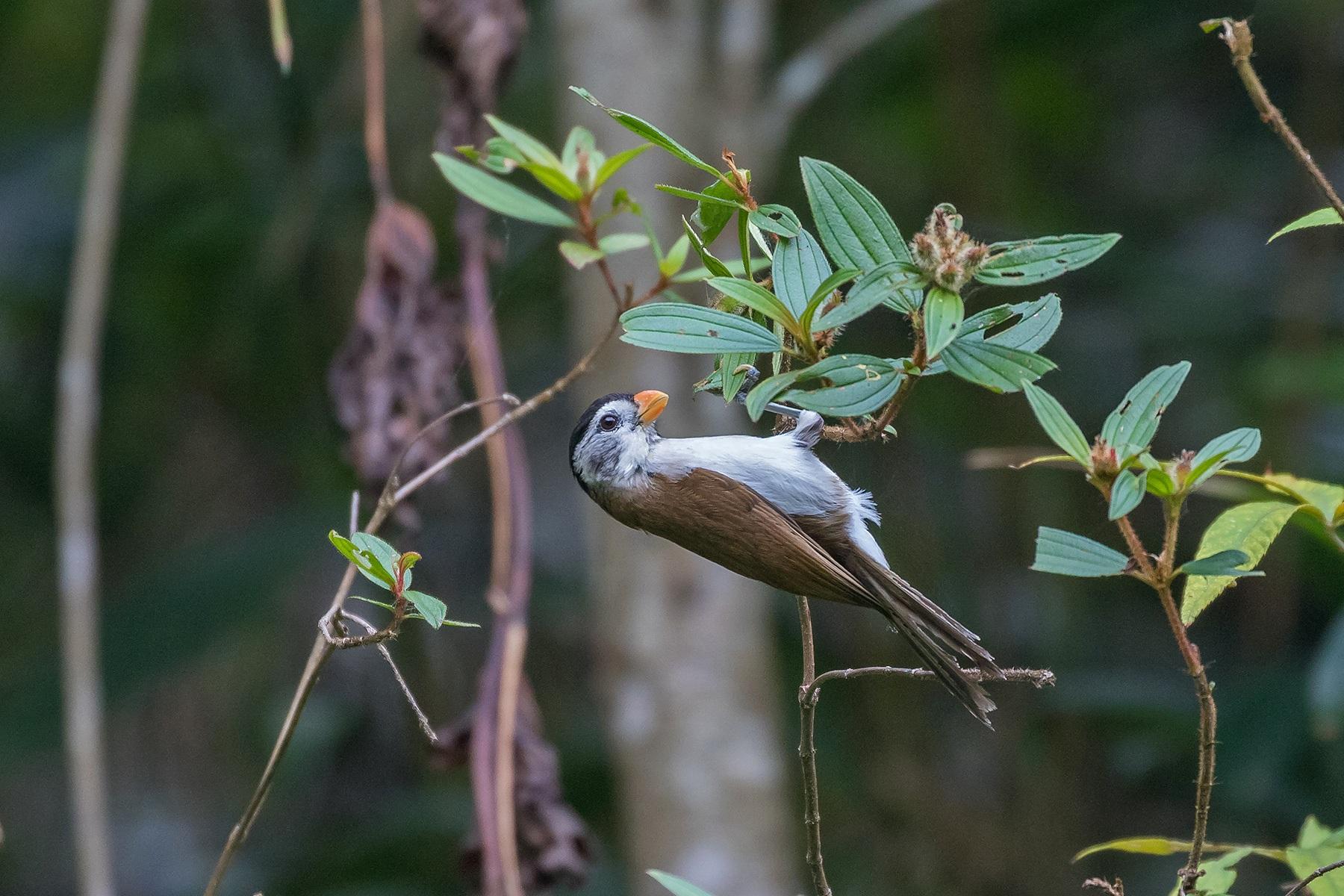 Black-crowned Parrotbill