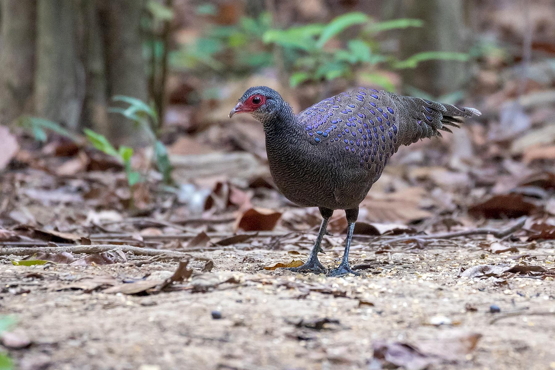 Germain's Peacock-Pheasant male