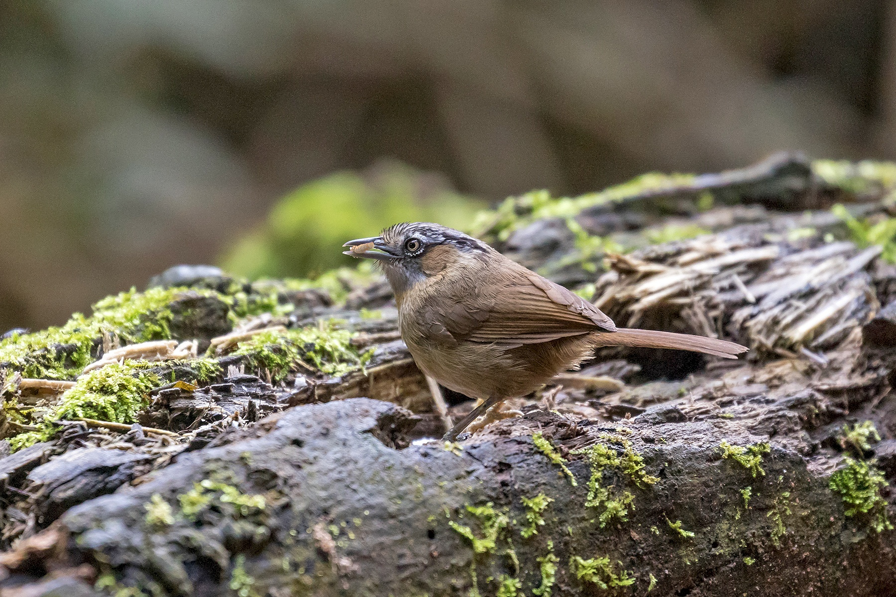 Grey-throated Babbler of the form rileyi
