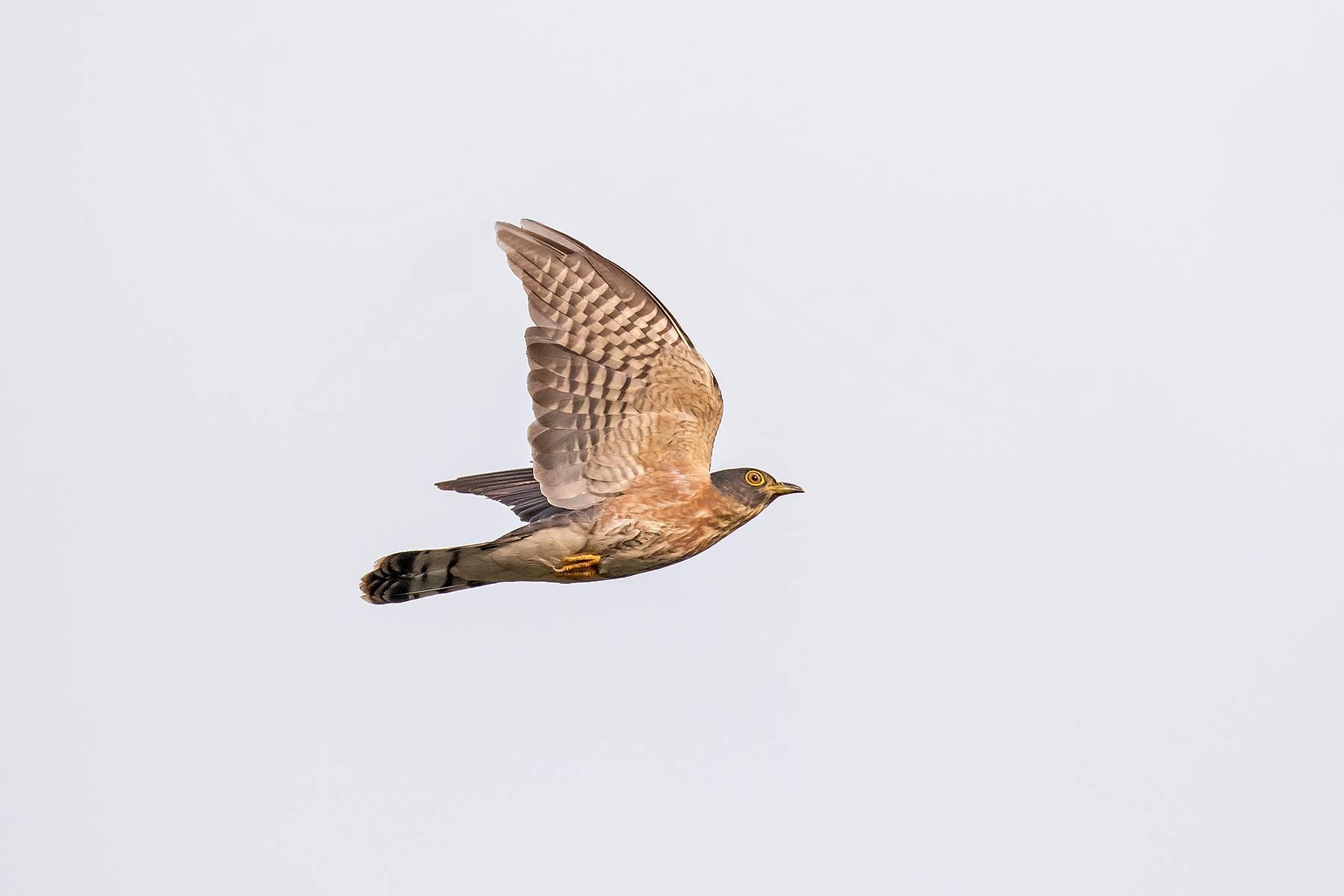 Hodgson's Hawk-Cuckoo