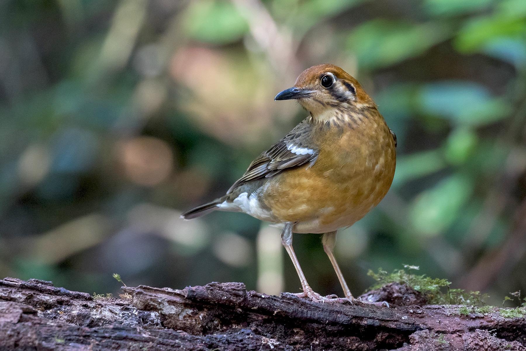 Orange-headed Thrush juvenile