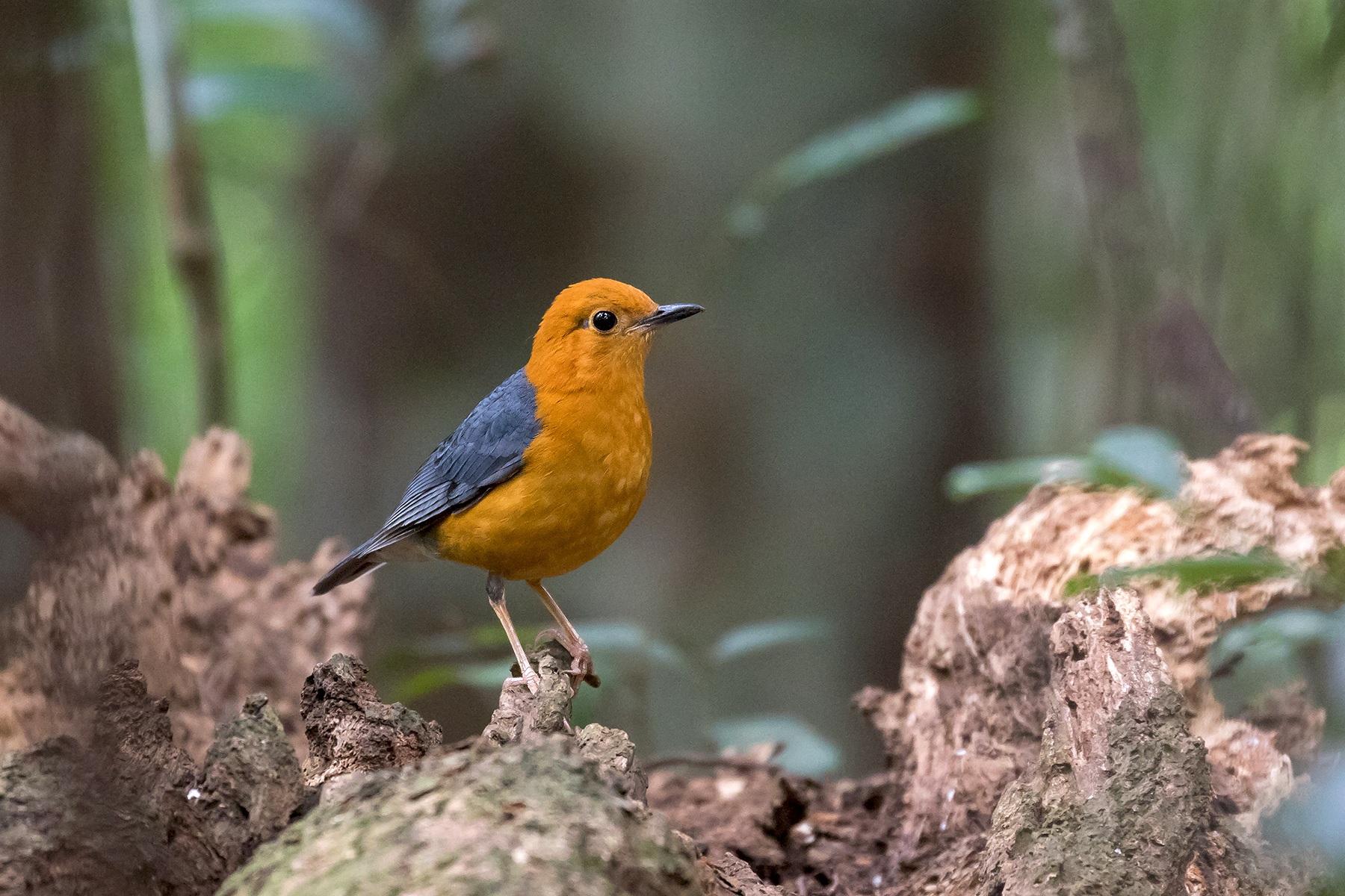 Orange-headed Thrush male