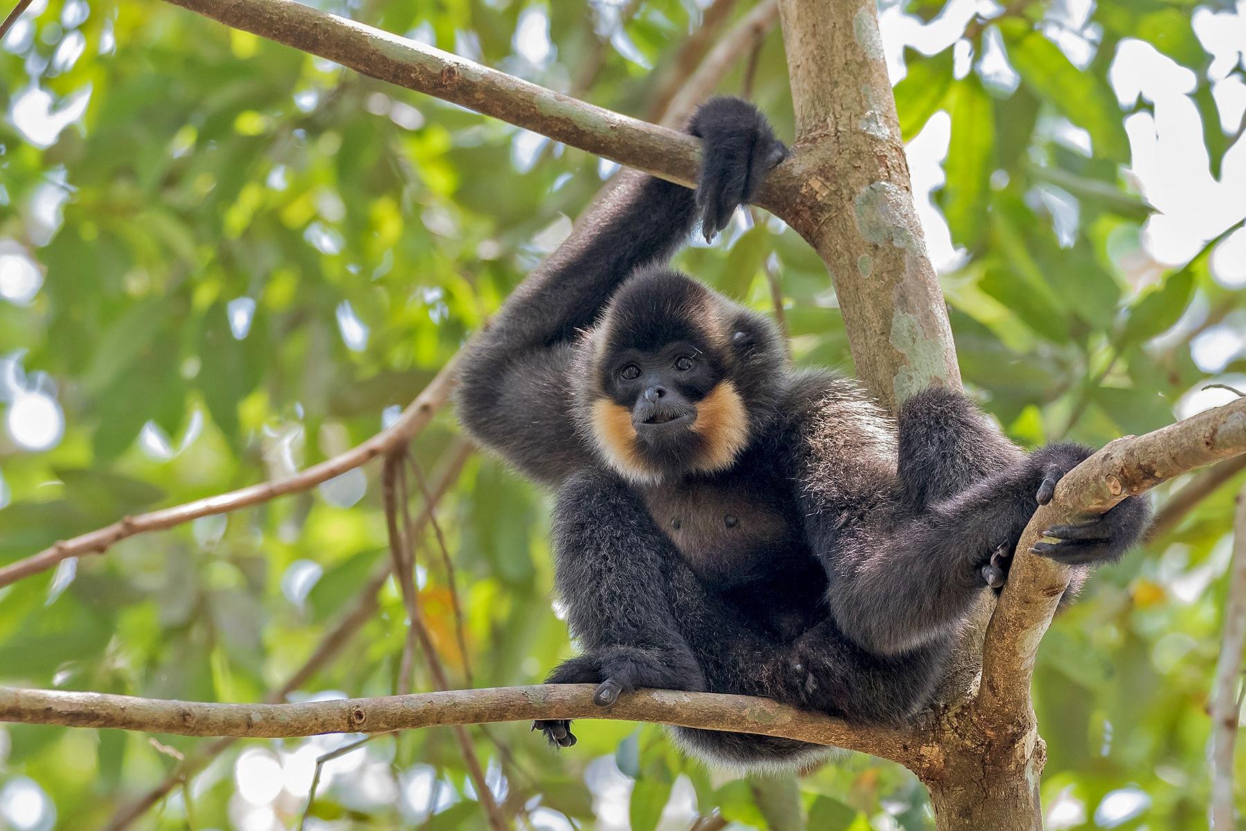 Buff-cheeked Gibbon male