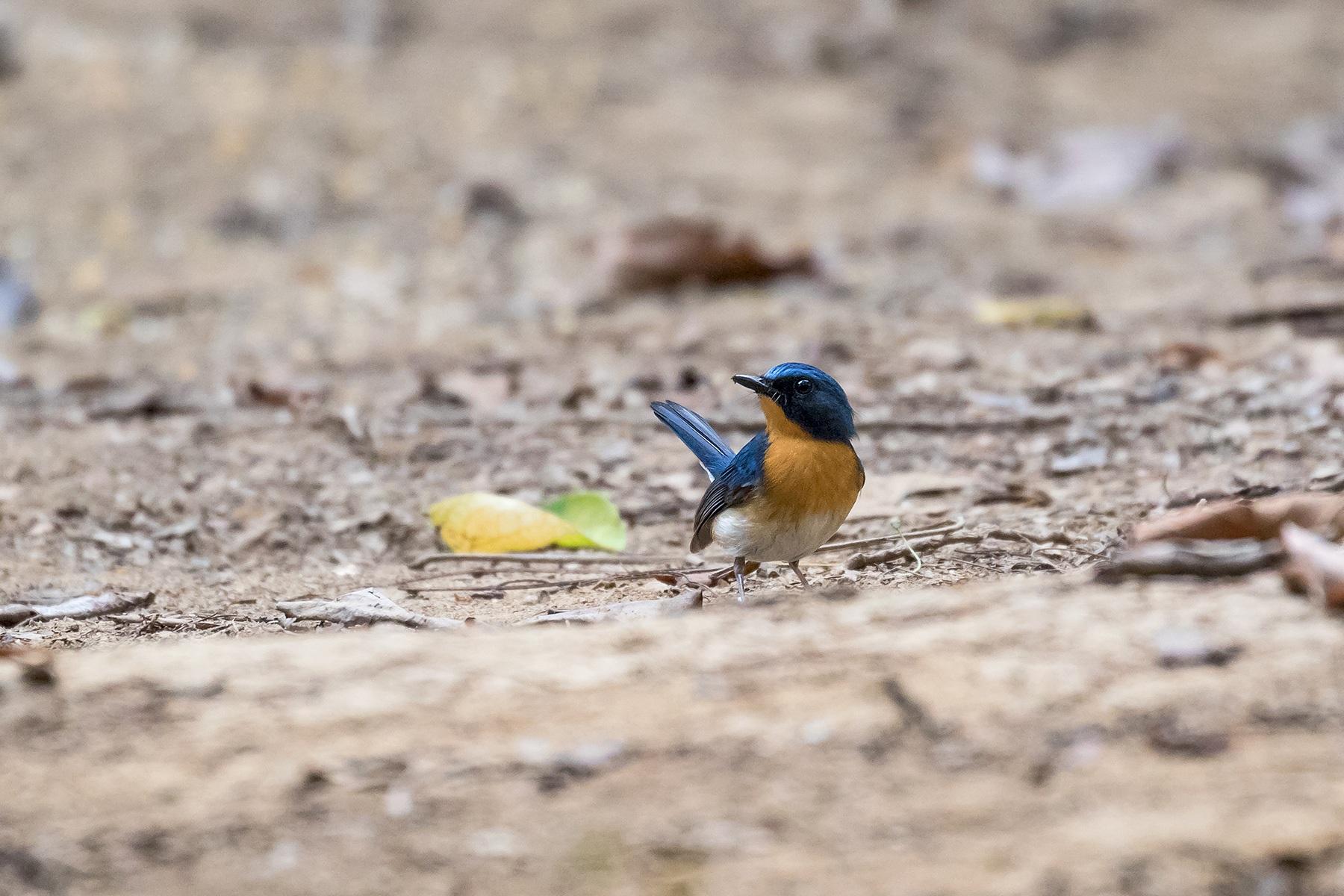 Tickell's Blue Flycatcher male