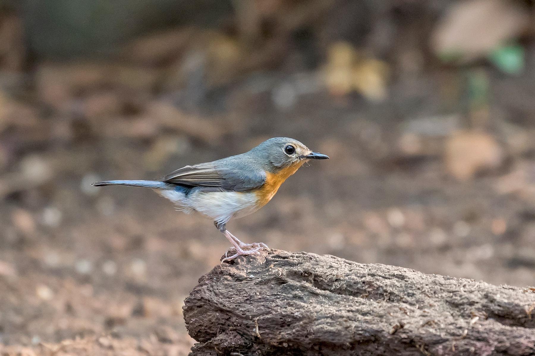 Tickell's Blue Flycatcher female