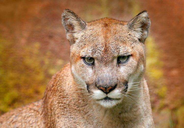 Puma portrait (Image by Ondrej Prosicky)