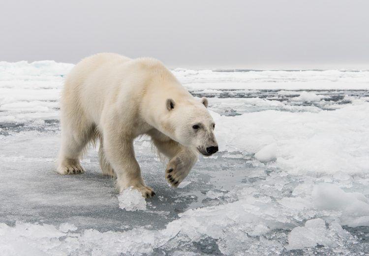 A Polar Bear comes really close!